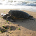 Even The Sea Turtles Enjoy Lounging On Our Beach